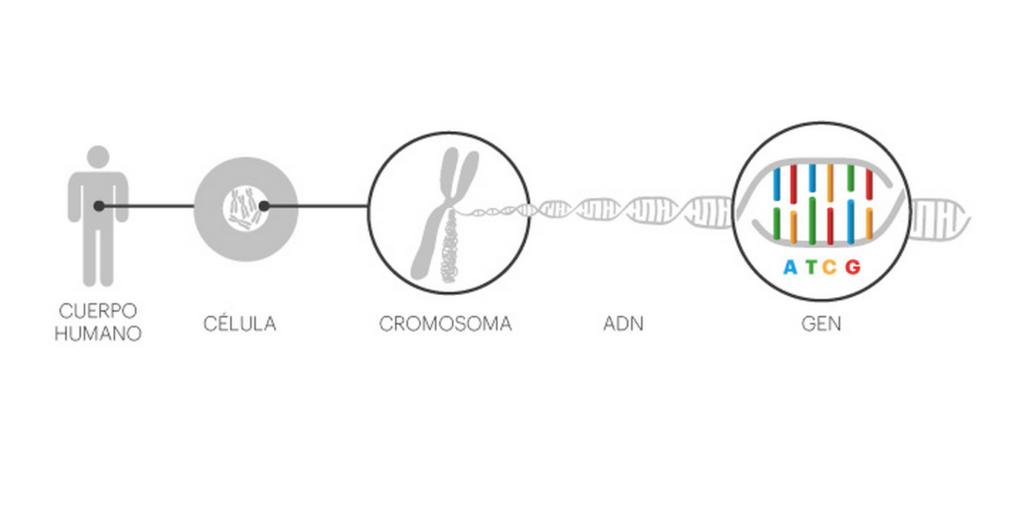 El método OneGen01: la longevidad celular
