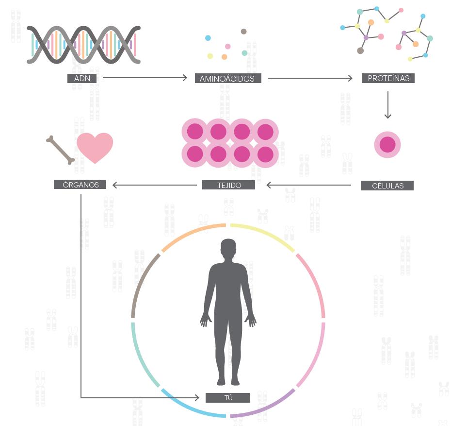 OneGen01 y el gen de Matusalén